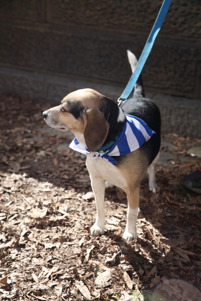 Beagle with Greek Neckerchief