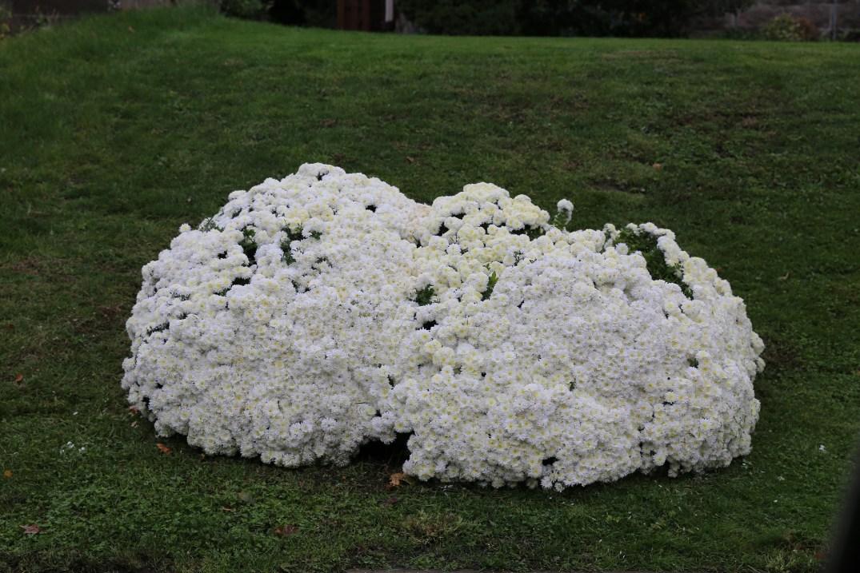 cauliflower-mums