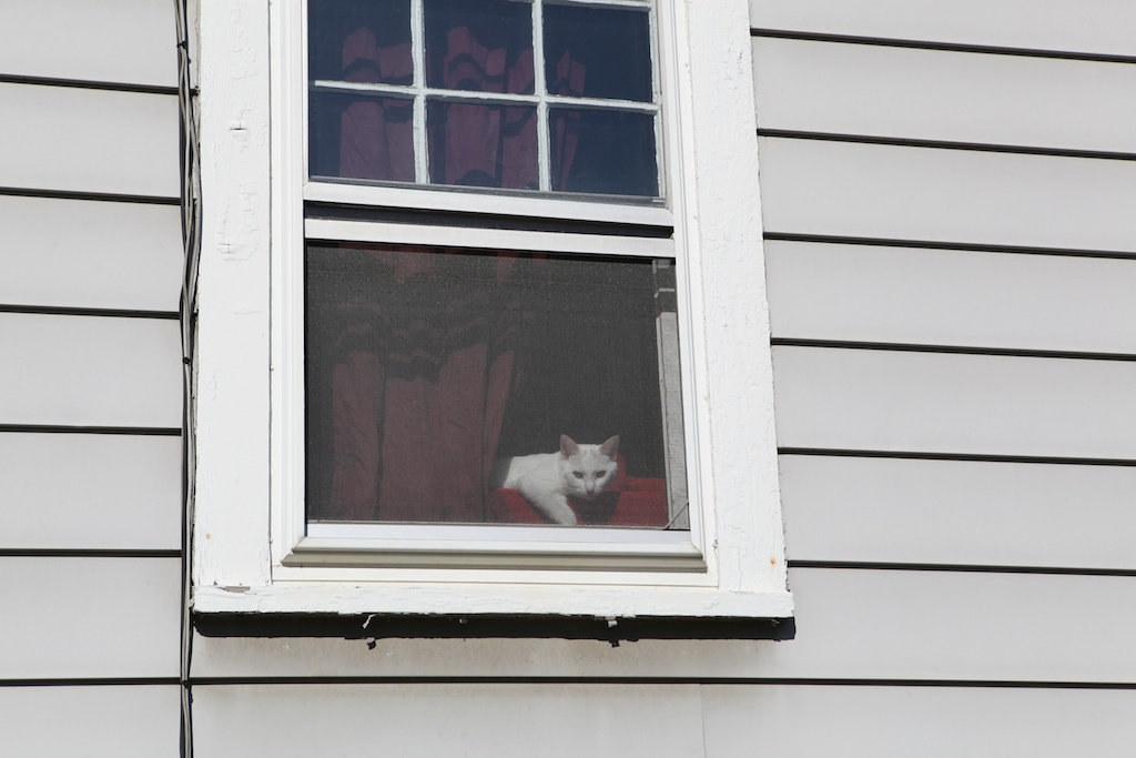 white cat in window
