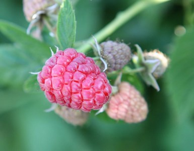 Your raspberries are delicious