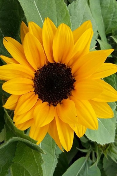 Sunflower – a sign of Optimism and Joy