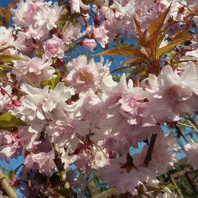 Cherry Blossom to lift the heart
