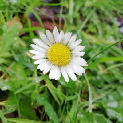 Do not underestimate the Humble Daisy