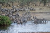 Zebras in the Serengetti