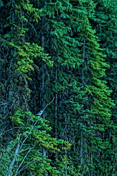 Belted Kingfisher bird in the Cariboo region