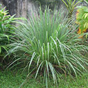 lemongrass-essential-oil for Woodsy Fruitwood Perfume
