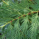 cypress-essential-oil for Woodsy Fruitwood Perfume