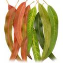 eucalyptus1- for best hair loss shampoo recipes