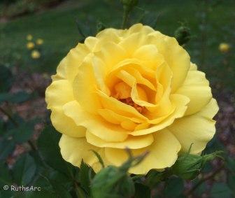 April rose 1