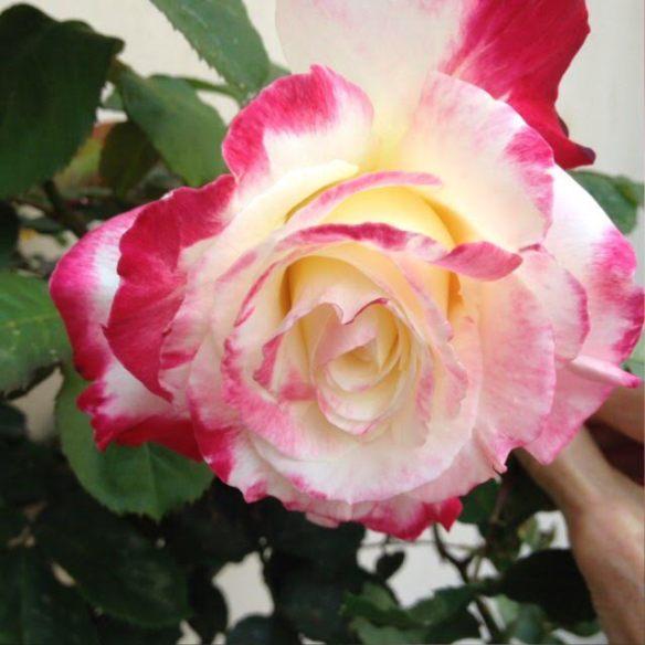 Sonia's rose