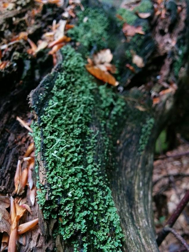 Lichen in the woods