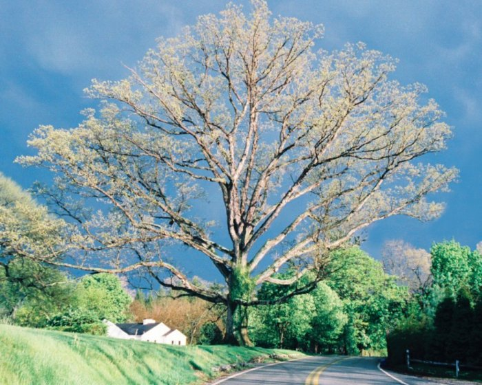 Ruxton's 350-year-old white oak