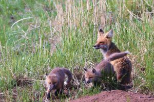Vixen Fox Kits Playing