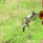 Cute little hummingbird is a bit of a couch potato