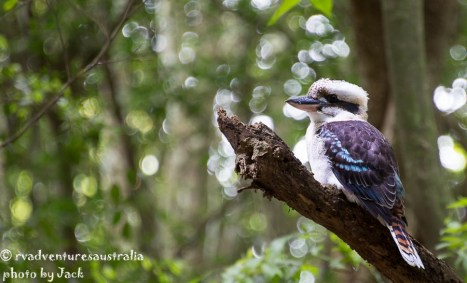 Kookaburra, Wingham Brush
