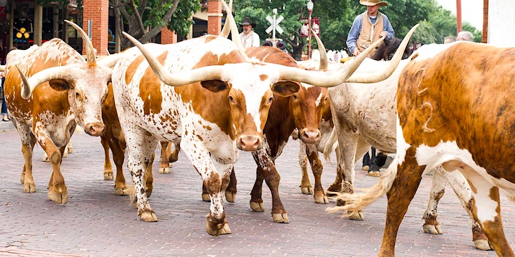 Stockyard National Historic District Longhorns