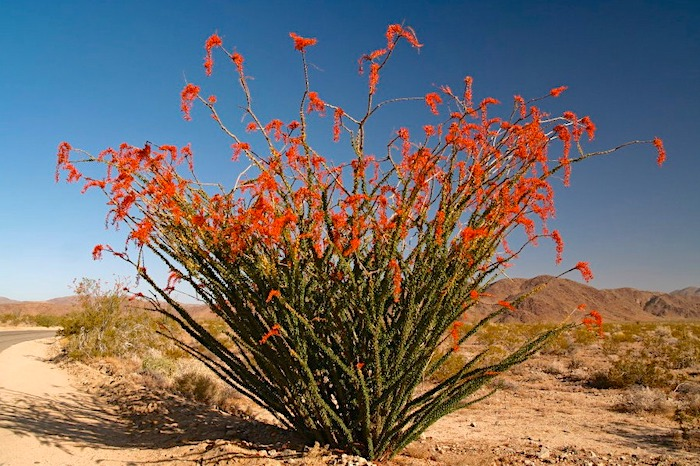 ocotillo patch joshua tree