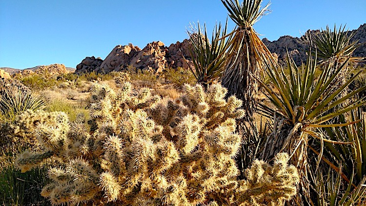 indian cove nature trail showing cholla