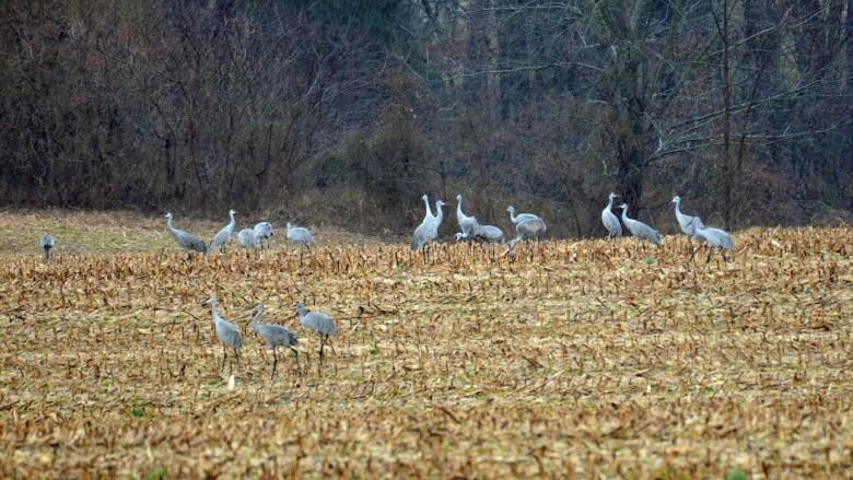 Sandhill crane migration in corn field.