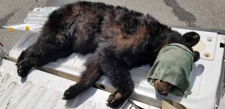 tranquilized smokey mountain bears