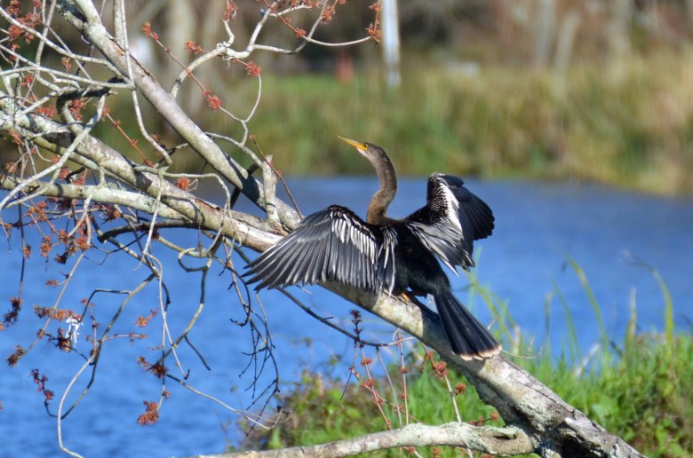 anhinga drying feathers on tree limb