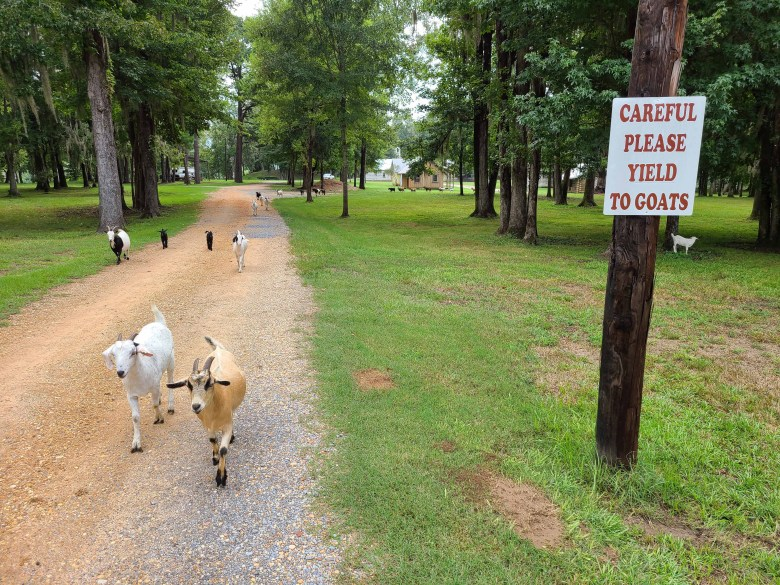 Yield to Goats sign protecting the goats as they walk down the middle of the road at Jackson Lake Island in Alabama where Big Fish movie was filmed.