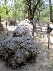 petrified forest california sequoia