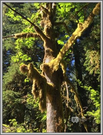 Moss Laden Trees