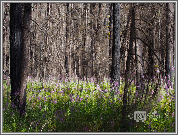 Wild Flowers and Charred Woods