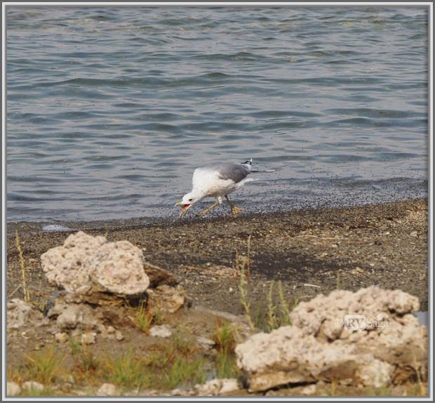 A California Seagull Eating Alkali Flies