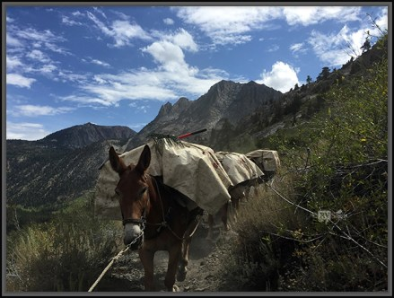 A mule Carrying Cargo
