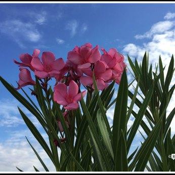 Flowers of Oleanders