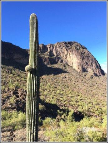 A 50 Plus Aged Saguaro