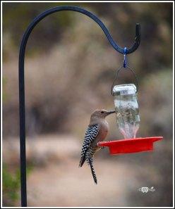 Gila Woodpeck