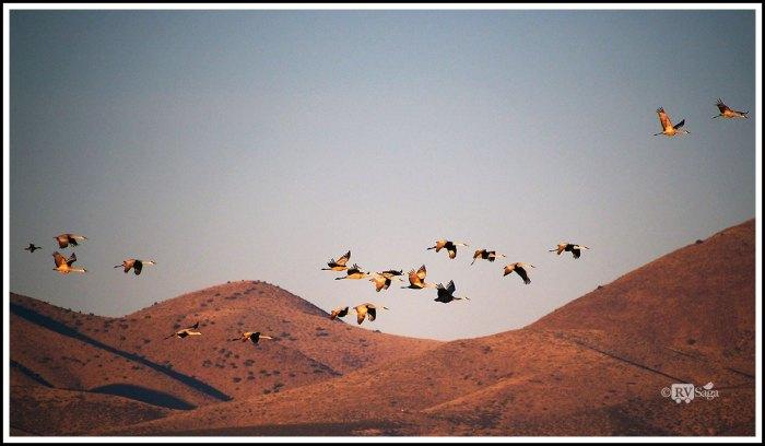 Sandhill Cranes in Flight at Sunrise