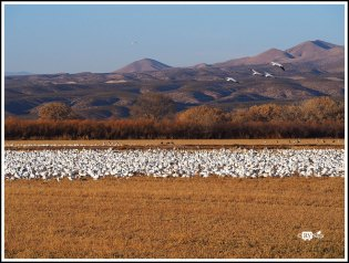 Thousands of Snow Geese. Bosque Del Apache National Wild Life Refuge. New Mexico
