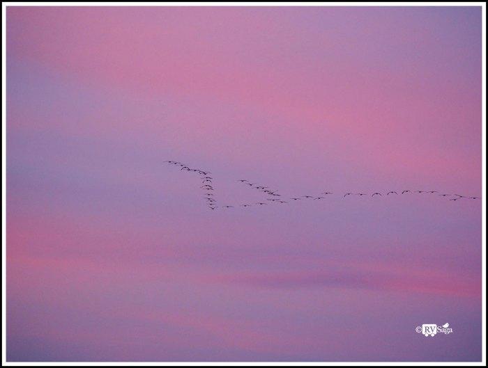 Sandhill-Cranes-Flying-Homed
