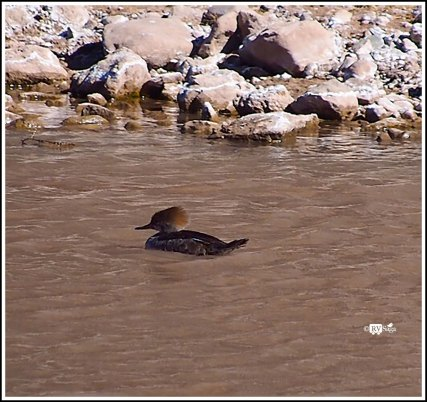 A Female Merganser