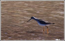 A Great Yellowlegs. Caballo Lake Riverside Campground. New Mexico