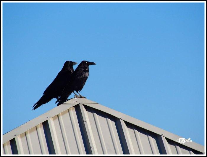 A Raven Couple
