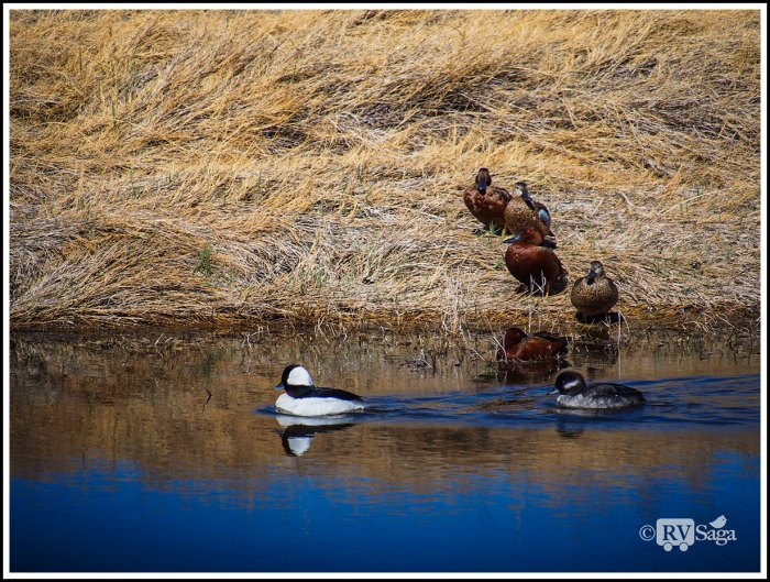 Buffleheads-and-Cinnamon-Teals-and-Blue-winged-Teals