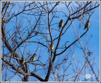Five Cedar Waxwings
