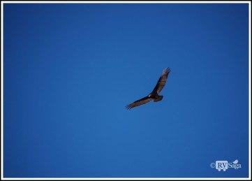 Flying-Turkey-Vulture