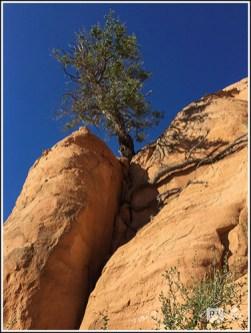 A Tough Juniper on the Cliff