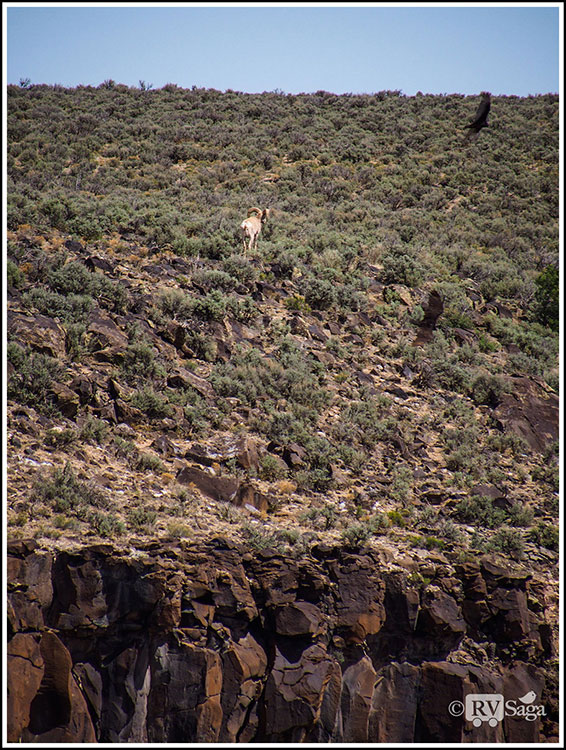 Big-Horn-Sheep-and-Turkey-Vultures-by-the-Rio-Grande-Gorge-Bridge-