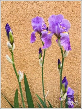 Irises by an Adobe Wall