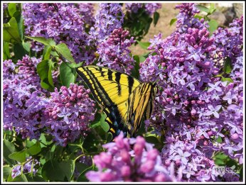 Yellow Swallowtail Butterfly on Lilac