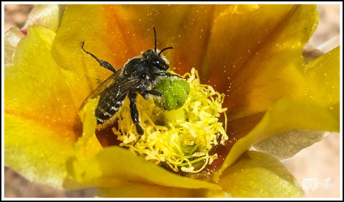 A-Bee-on-A-Cactus-Flower