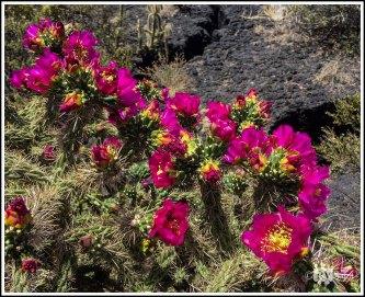 Colorful Cholla Blossoms Against Lava