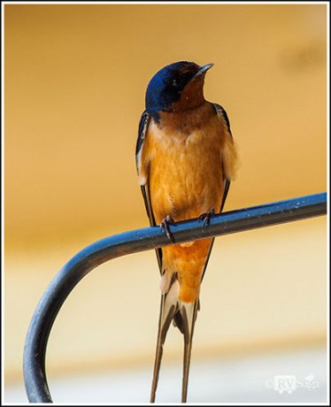 A Barn Swallow. Custer State Park. South Dakota.